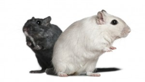 Two Gerbils, 2 years old, in front of white background
